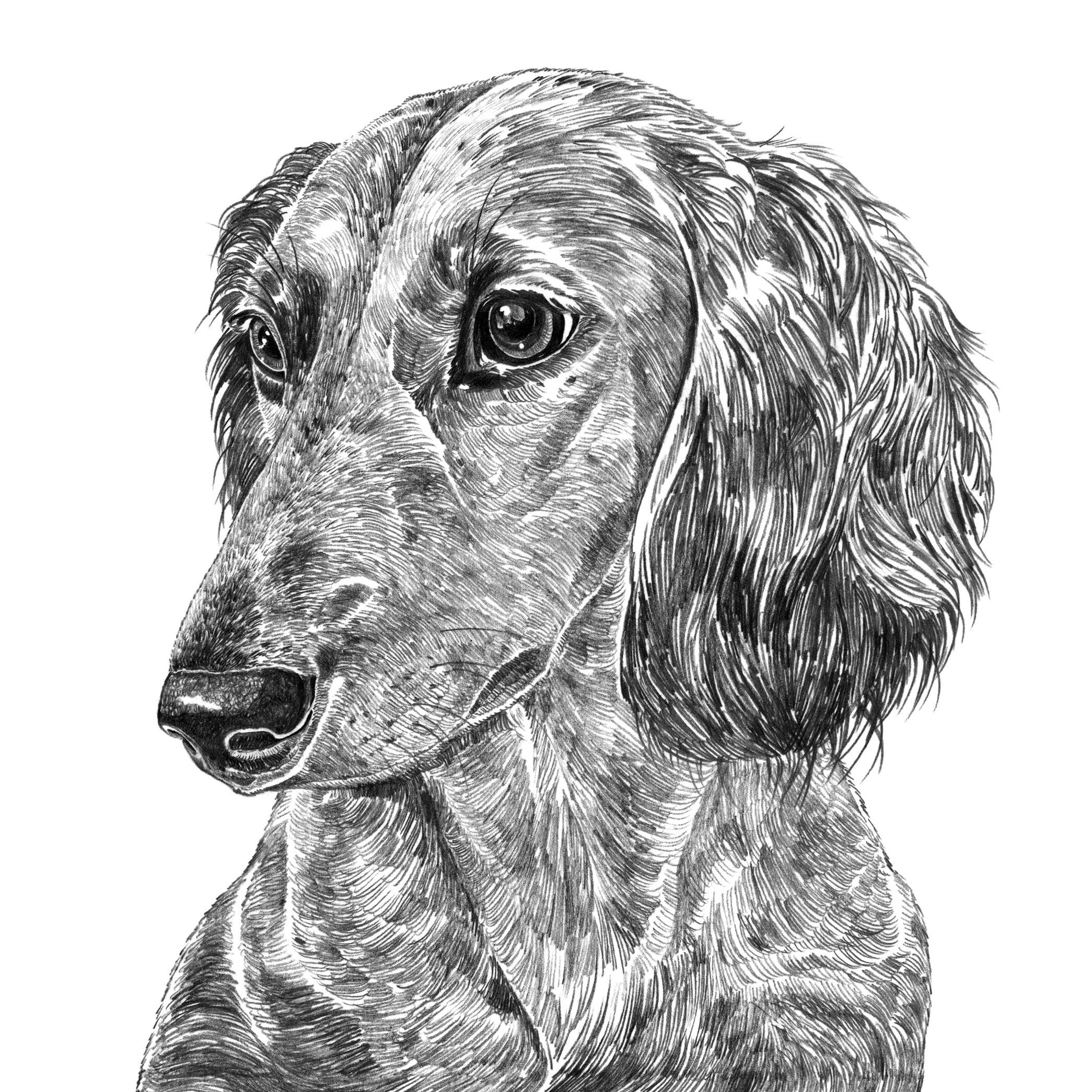 Long Haired Dachshund Dog Print