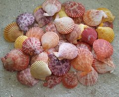 Beautiful Pecten Nobilis Seashells - (12) Shells