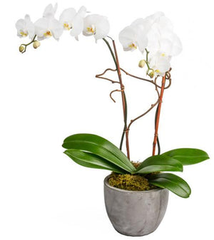 Double White Orchids - Fresh Blooms Flowers