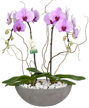 Lavish Pink Orchids - Fresh Blooms Flowers
