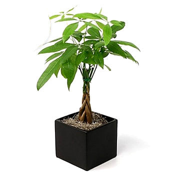 money-tree-potted