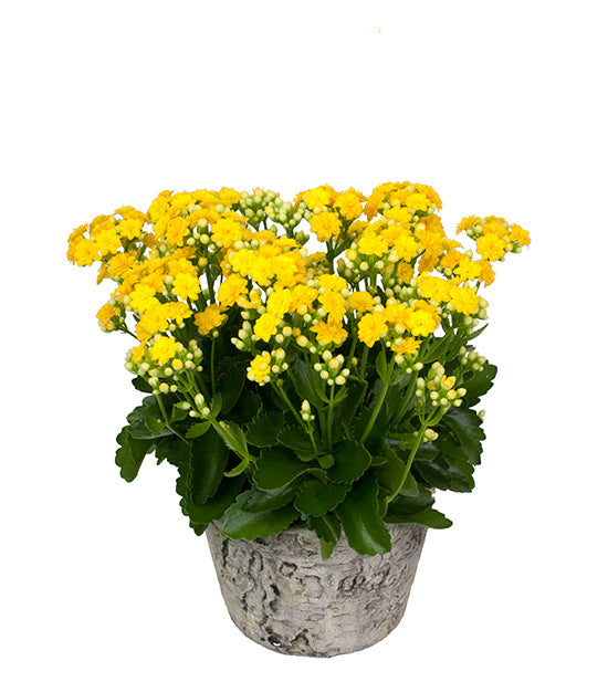 Potted Kalanchoe - Yellow