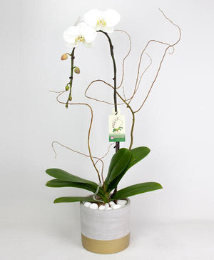 White Orchids Elegance - Fresh Blooms Flowers