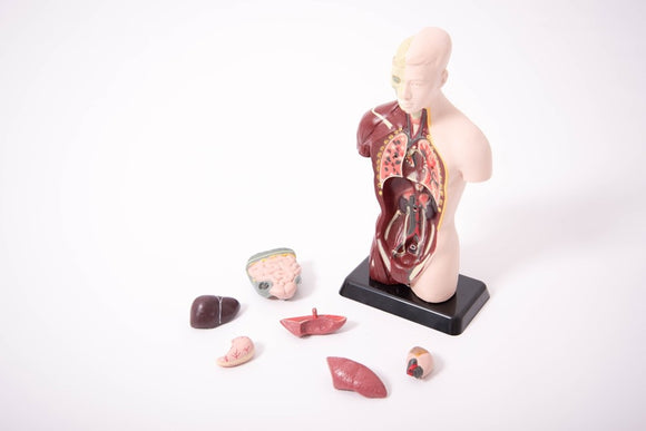 Quarter-Scale Anatomical Torso