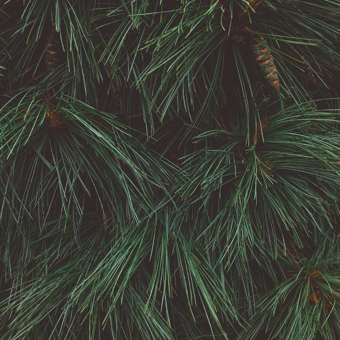 The Benefits of Pine