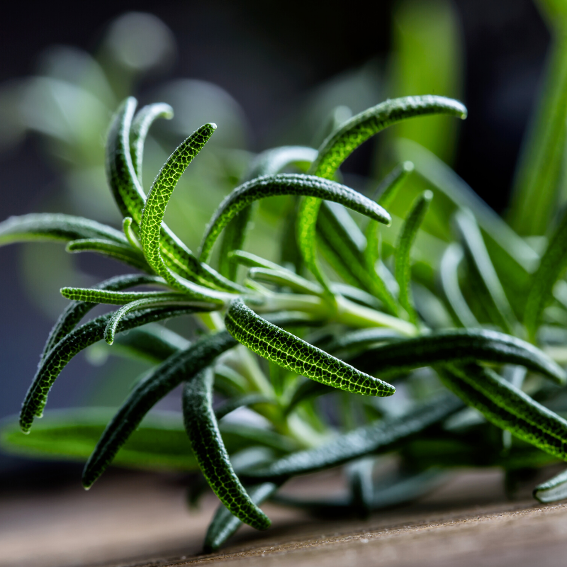 Steam Distilled Rosemary | Rosmarinus officinalis