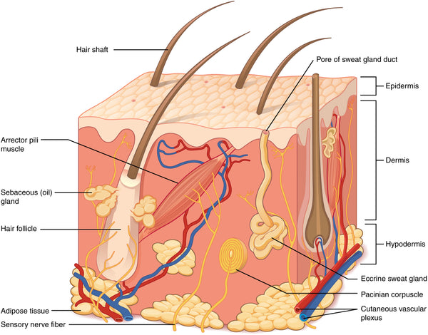 The Structure of Skin