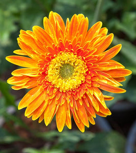 Flower Essence - Calendula