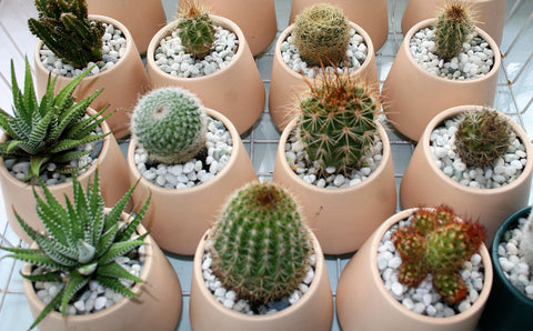 Cactus Pots for Mothers Day