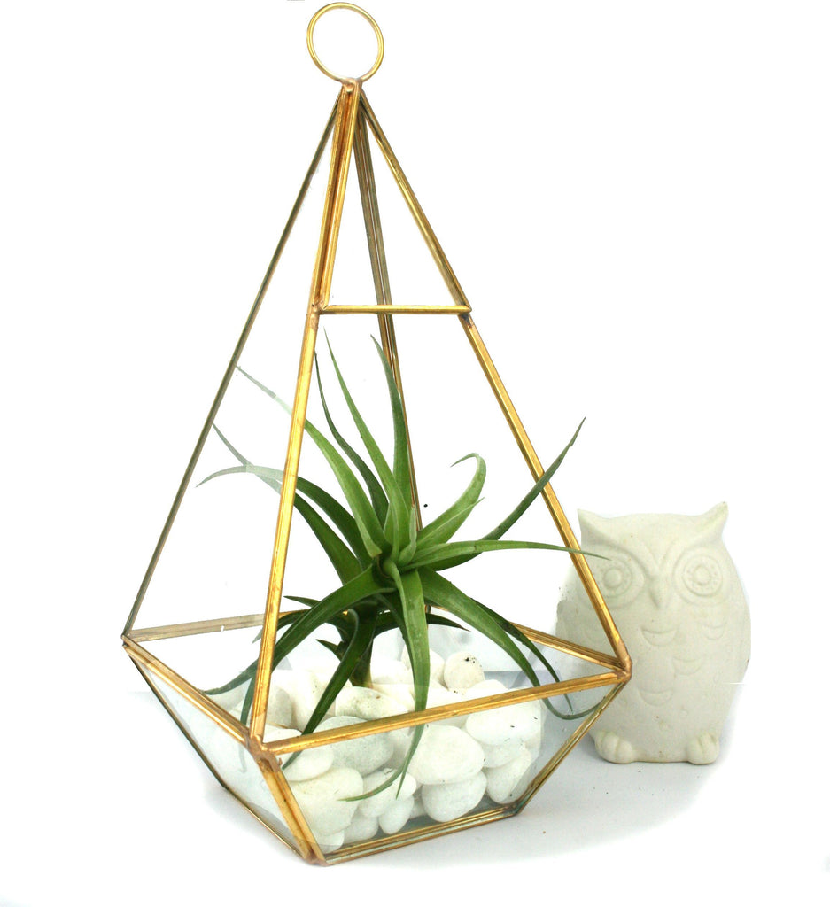 Ecobubbles AIR PLANT TERRARIUMS Brass and Glass Pyramid Terrarium with Large Bergeri Air Plant