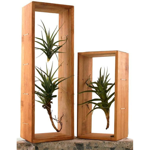 Air Plant Frame & Air Plant, Double