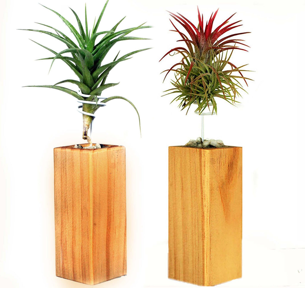 Ecobubbles AIR PLANTS Air Trees, set of two