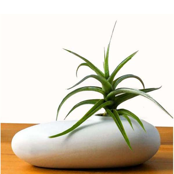 Ecobubbles AIR PLANTS Pebblepot & Air Plant
