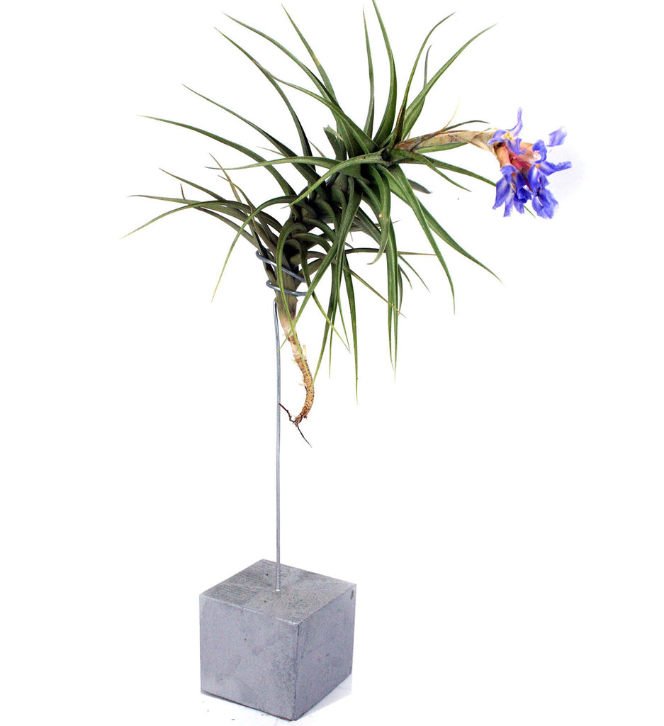 Ecobubbles AIR PLANTS Silver Air Tree & Air Plant