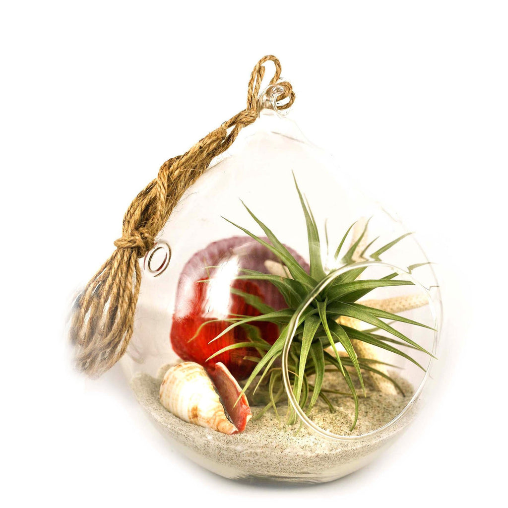 Ecobubbles AIR PLANTS Summer Air Plant Terrarium, Large