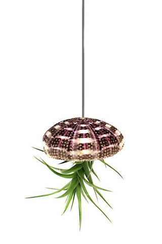 Tartan Sea Urchin & Bergeri Air Plant