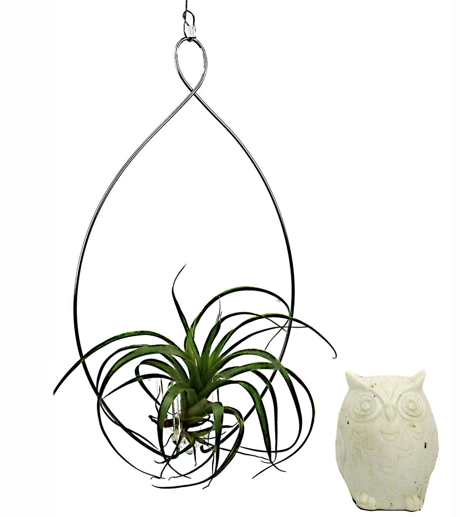 Ecobubbles AIR PLANTS Wire Hanger & Sphaerophala Air Plant