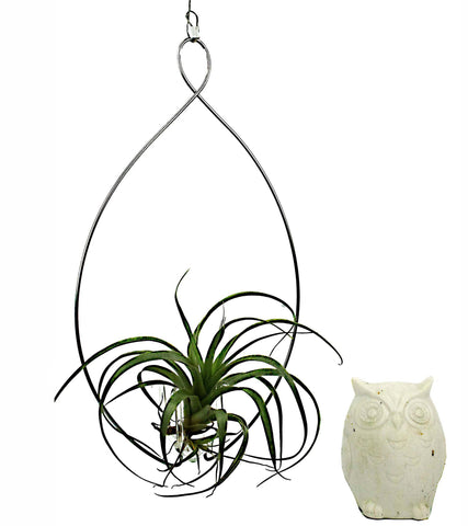 Wire Hanger & Bergeri Air Plant