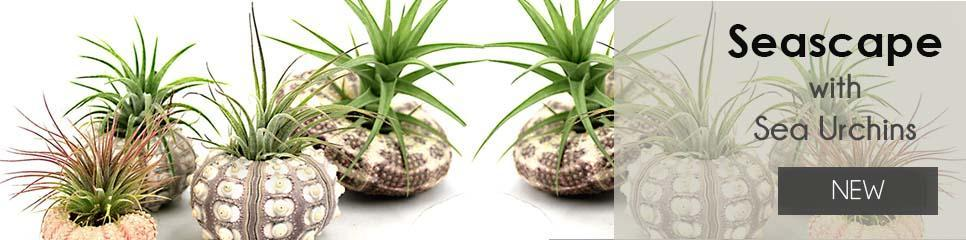 Sea Urchin Air Plants