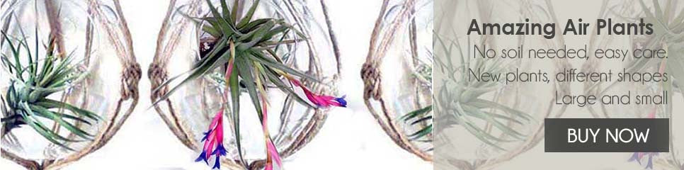 Air Plants for Sale