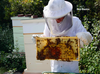 Beekeeper checking a beehive frame for honey