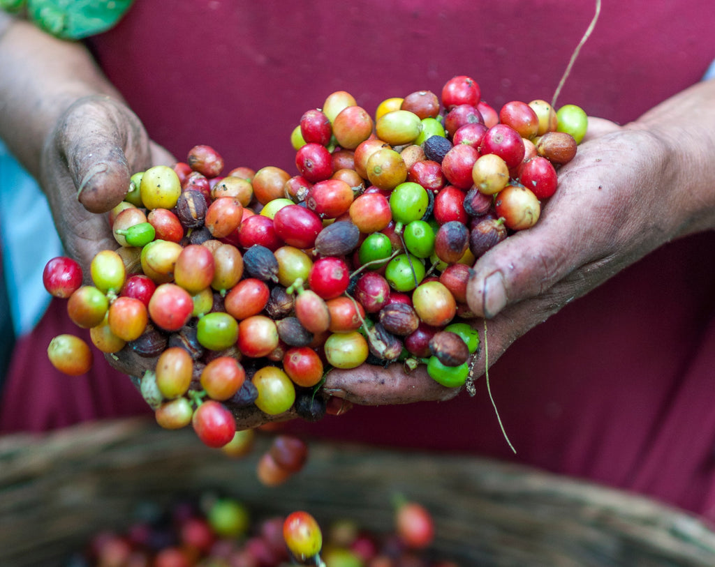 How is Coffee Grown?