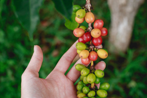Coffee beans on bush