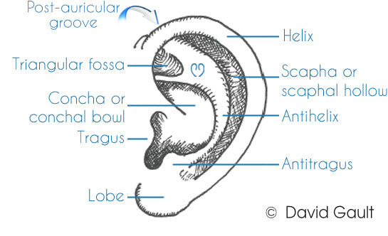 Anatomy of the Ear | Post Auricular Groove | Triangular Fossa | Concha | Helix | Scaphal Hollow | Antihelix | Ear Buddies