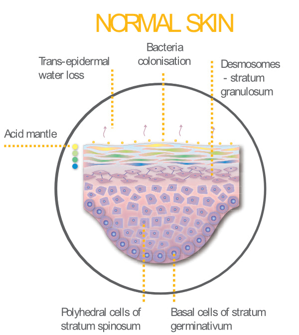 Normal Skin Cross Section | Acid mantle | Epidermis | Trans-Epidermal Water Loss