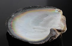 black-lipped oyster