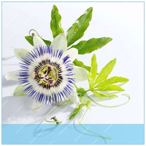 Orange Yellow Colombia Passion Fruit Granada Passiflora Ligularis Sweet Granadilla  Seeds