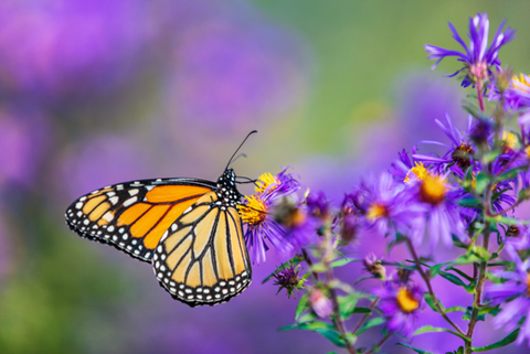 monarch butterfly adobe stock image endangered species