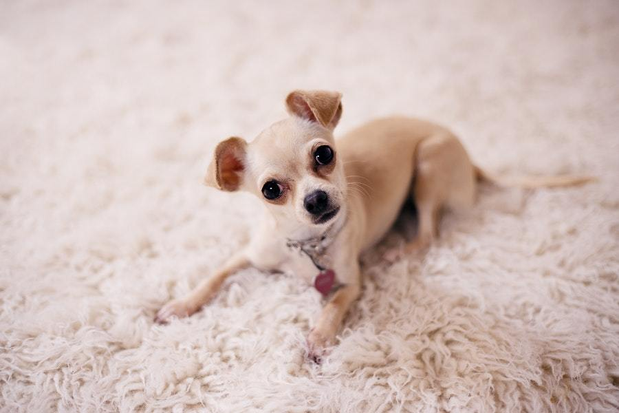 Are Chihuahuas Actually Dogs Or Rodents?