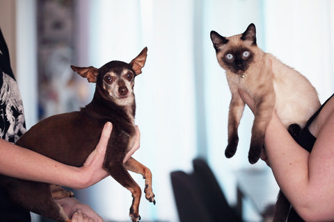Chihuahua Compared To A Cat