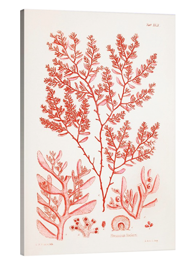 Red Coral Lithograph