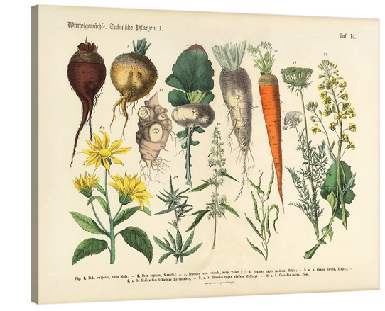 Root Crops & Vegetables Botanical
