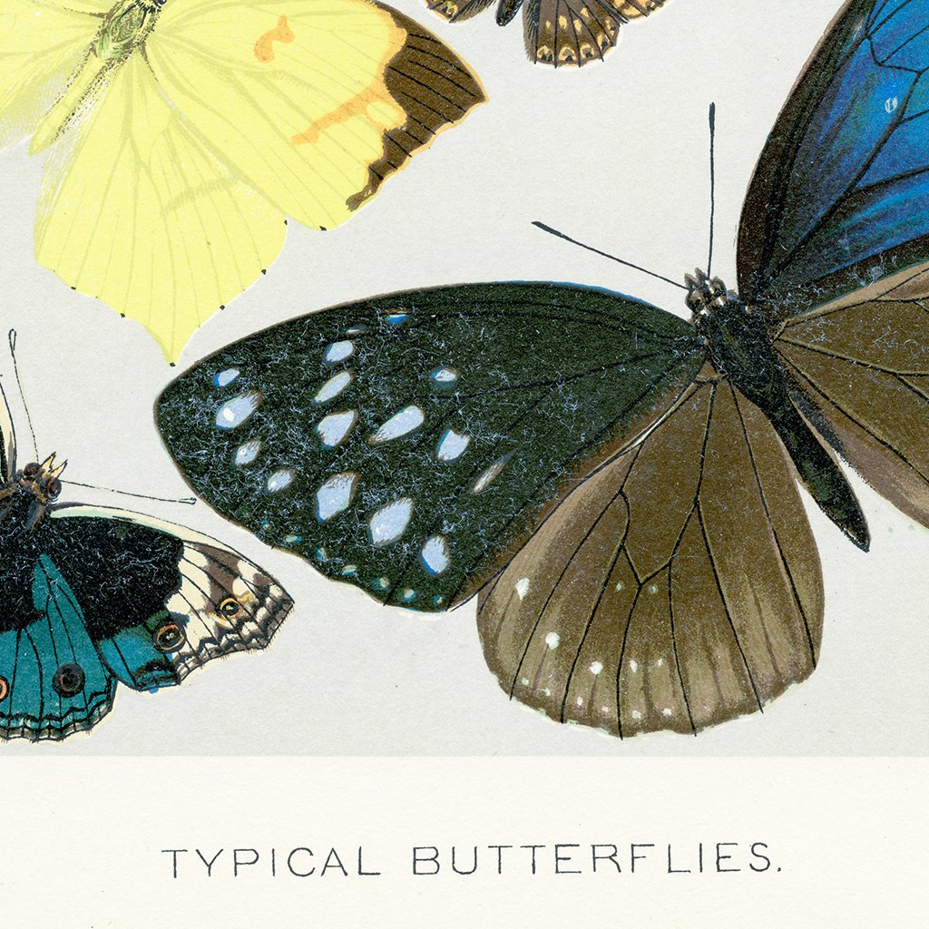 Typical Butterflies Botanical