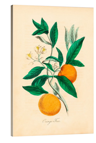 Orange Tree Vintage Botanical