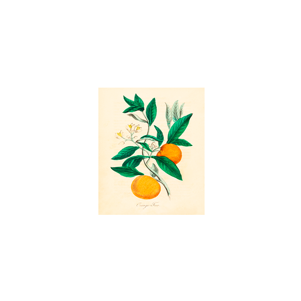 Orange Tree Botanical