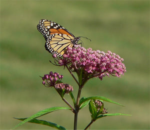 Natural: The Journey of the Monarch Butterfly