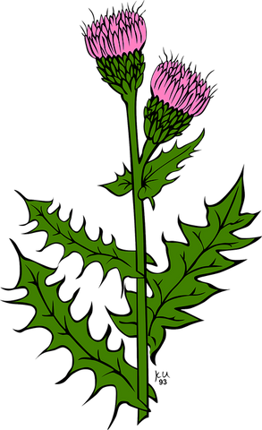 Drawing of a purple thistle