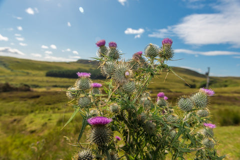 Cluster of spiny thistles in front of green hills
