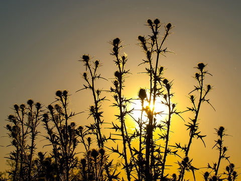 Tall thistles silhouetted by the setting sun