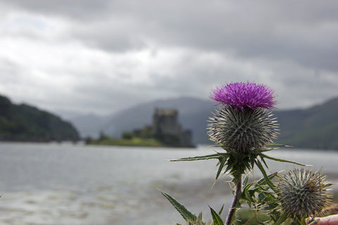Scottish thistle with Eilean Donan Castle in the background