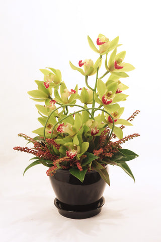 Cymbidium Pot Arrangement - Mangere Floral Studio