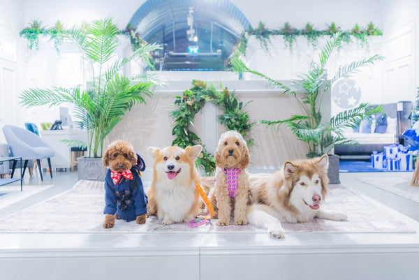 Dogs on Fashion Show Stage