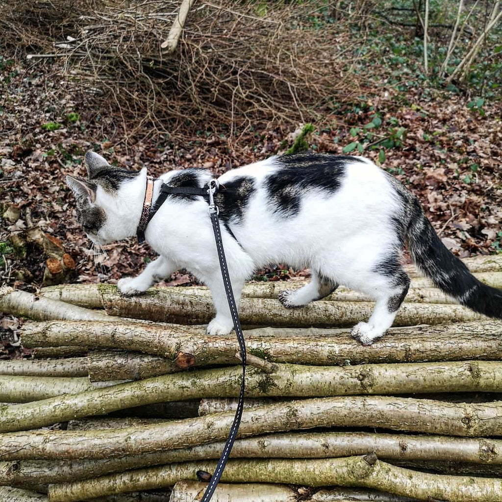 cat walking on harness and lead