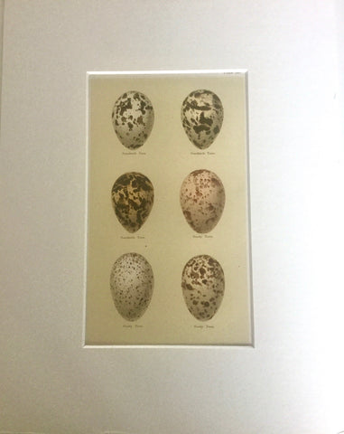 Set of 4 1800s Engraving of Eggs