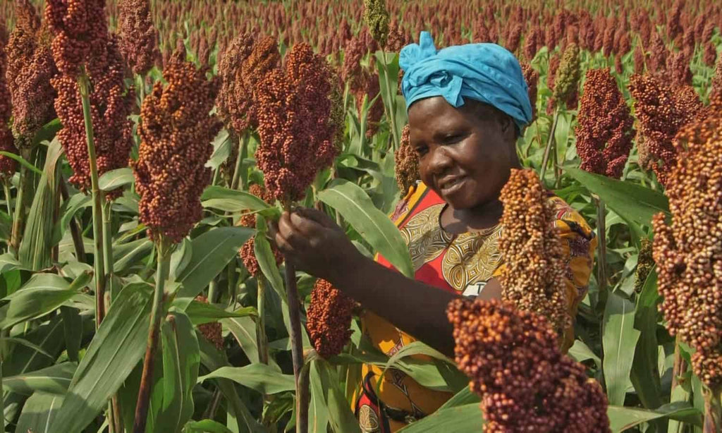 Millets And Sorghum: Forgotten Foods For The Future: Foodtank