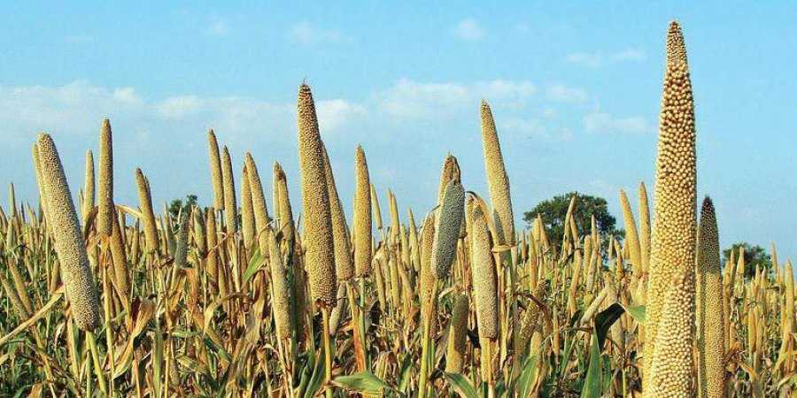 This Is Why We Should Be Eating Millets: The New Indian Express